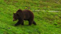 Grizzly Bear Walks Through Frame In Lush Green Grass - Med