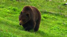 Grizzly Bear Feeds On Roots In Lush Green Vegetation, Walks Away And Leaves Frame - Medium