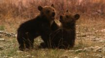 Two Grizzly Bear Cubs Wrestle In Field - Tight