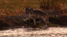 Grey Wolf, After Being Chased Away From Carcass By A Grizzly Bear, Leaves River And Shakes - Medium
