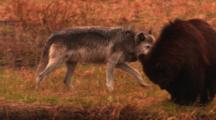 Grey Wolf And Grizzly Bear Interact On Bank Above Carcass In River - Medium