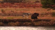 Grey Wolf And Grizzly Bear Interact On Bank Above Carcass In River, Wolf Barks And Growls At Bear, Bear Chases Wolf Off-Wide
