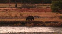 Grey Wolf And Grizzly Bear Interact On Bank Above Carcass In River, Wolf Walks Away From Bear, Bear Sits On Bank - Medium