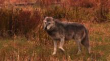 Wolf Stands On River Bank After Interacting With Grizzly Bear, Preparing To Go Into River - Medium
