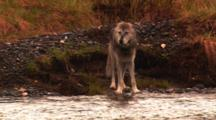 Grey Wolf Walks Along River Towards Offscreen Carcass -Medium