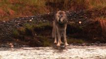 Grey Wolf Walks Along River Towards Offscreen Carcass -Medium