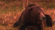 Grizzly Bear Lies On Bank And Looks Towards Offscreen Wolf - Tight