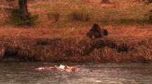 Grizzly Bear Lays On Bank Above Elk Carcass In River - Wide