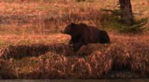 Grizzly Bear Lays On River Bank Above Carcass In River - Medium