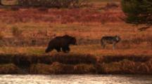 Wolf Watches As Grizzly Bear Approaches And Sits On River Bank Then Wolf Leaves Frame -Wide