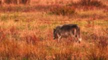 After Being Chased Away From Carcass By Grizzly Bear, Grey Wolf Walks Away Through Meadow, Leaves Frame - Medium