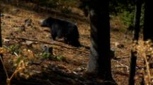 Black Bear Stands At Base Of Tree With Cones/Debris Falling From Above, Grabs Cone Runs Off In Slow Motion - Wide