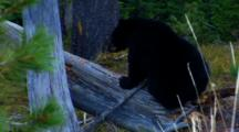 Black Bear Cub Lies On Fallen Tree And Eats Whitebark Pine Seeds - Medium