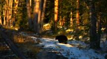 Black Bear Walks Through Patch Of Snow Looking For Whitebark Pine Cones In Golden Light - Wide