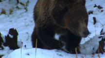 Grizzly Bear Walks Through Snowy Forest Looking For Whitebark Pine Cones - Medium Tight