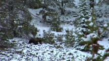 Grizzly Bear Walks Across Snowy Hillside In Whitebark Pine Forest - Wide