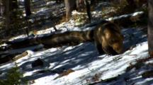 Grizzly Bear Searches For Whitebark Pine Cones In Snowy, Sun-Dappled Forest, Finds Cone And Eats - Medium