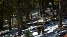Grizzly Bear Eats Whitebark Pine Cones In Snowy, Sun Dappled Forest, Leaves Frame - Wide