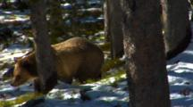 Grizzly Bear Walks Through Snowy, Sun-Dappled Whitebark Pine Forest In Search Of Pine Cones - Medium Tight
