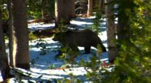 Grizzly Bear Walks Through Whitebark Pine Forest Searching For Cones, Leaves Frame - Medium/Wide