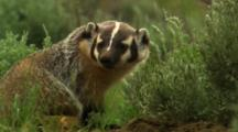 Badger At Den Looks, Then Leaves Den Away From Camera - Medium