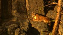 Cougar Lies On Ledge