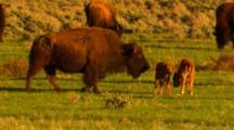 Two Bison Calves In Midst Of Herd, One Nurses - Medium/Wide