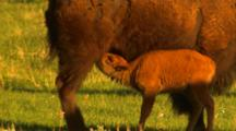 Bison Calf Nurses, Headbutts Its Mom's Belly - Tight