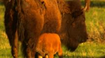 Bison Calf Nurses, Rams Mother's Belly - Tight