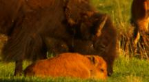 Bison Calf Lays In Green Grass While Bison Cow Grazes - Tight