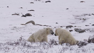 Two male polar bears sit facing each other near frosted willows then leap up to wrestle and spar with each other. One pins the other.  Med.