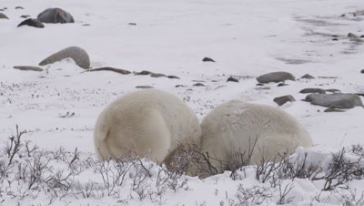 Two male polar bears wrestle and grapple on the ground behind frosted willows then leap up to spar on their hind legs.  Med.