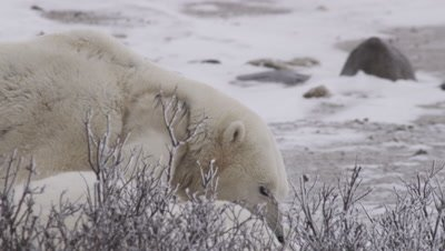 Two male polar bears wrestle and grapple on the ground behind frosted willows.  Tight.