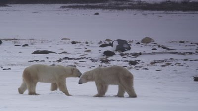 Two male polar bears interact on a frozen pond with rocks and willows in the background.  One bear walks towards a second bear, who is backing across the pond.  The aggressor leaps then keeps approaching.  Med.