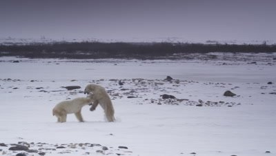 Two male polar bears interact on a frozen pond with rocks and willows in the background.  One bear walks towards a second bear, who is backing across the pond.  The aggressor leaps and pins the other bear to the ice. Wide.