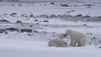 Two male polar bears wrestle and grapple with each other on frozen pond.  Rocky spit in the background.  Med.