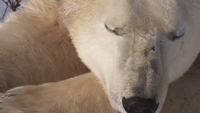 Male polar bear lays in the snow & willows lays his head on his paws.  Extreme Tight on head.
