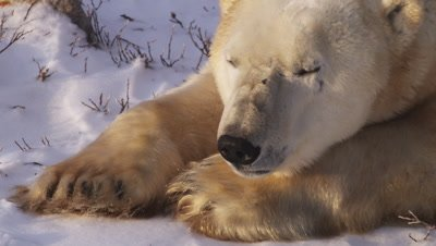 Male polar bear laying in snow and willows lifts his head then lays it back on his paws.  Extreme Tight on head and paws.