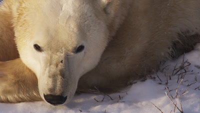 Male polar bear laying in snow and willows with his head on his paws opens and closes his eyes.  Sunset Light.  Extreme Tight on head.