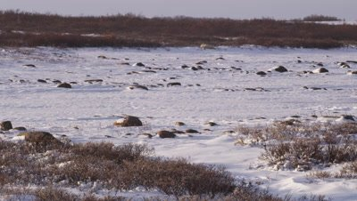 Tilt down to reveal lone polar bear laying in snow & willows.  Wide.