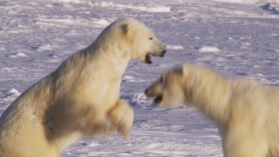 Two polar bears spar.  One bear leaps at the other, knocking it to the ice.  The bears then grapple and wrestle, snapping and pawing at each other.  Tight