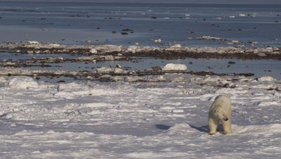 Polar bear looks around then tastes/smells snow. Wide.