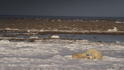 Two bears, one laying down, the other sitting sniff and prod each other on snowy shoreline with tidal flats and the open ocean in the background.  Second bear sits up.  Wide.