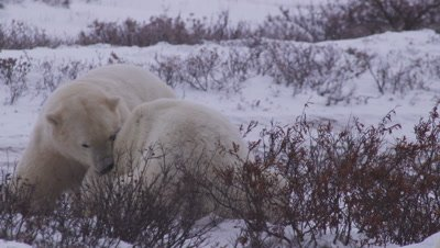 Two male polar bears in snowy willow bushes leap up to their feet to spar & grapple with each other.  One bear throws the other to the ground.  Med.