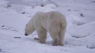 Polar bear walks along a snow shore…tilt up to reveal a second polar bear sitting and eating a polar bear cub carcass.  Med.
