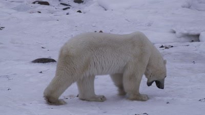 Polar bear, yawning as a sign of stress, circles an offscreen bear who is eating a polar bear cub.  Med.