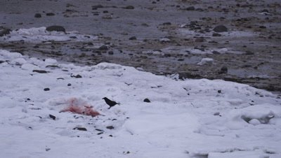 Two ravens descend onto the remains of a polar bear cub once bears have left.  Med.