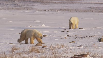 Two male polar bears walks across snowy shoreline at sunrise.  Rocks and golden grass stick out of the snow.  One bear continues walking towards camera while the other lays in the snow.  Wide.