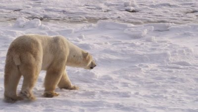 Polar bear walks along edge of ice, pack ice in the process of freezing lies just off the edge.  Following shot.  Med.