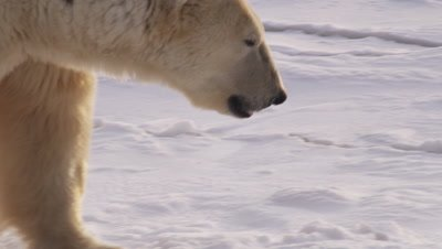 Polar bear walks along edge of ice, pack ice in the process of freezing lies just off the edge.  Following shot.  Ext. Tight.